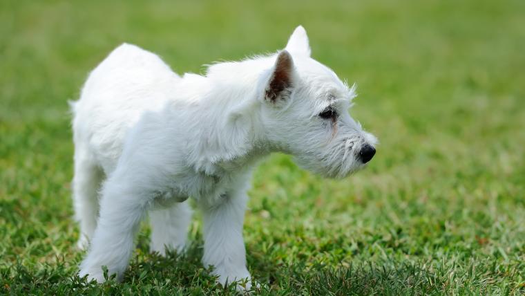 Yavru köpek seçimi ve ilk günler - akın kiremitçi-olympos vet-antalya veteriner